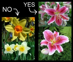 stargazers-NOT-daffodils